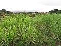 Starr-120620-7464-Cenchrus purpureus-green bana grass habit-Kula Agriculture Station-Maui (25027473892).jpg