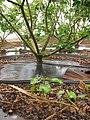 Starr-120620-9735-Jatropha curcas-seedlings in debris near parent plantings-Kula Agriculture Park-Maui (24558649453).jpg