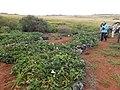 Starr-141217-2955-Ipomoea batatas-plantings-Lua Makika-Kahoolawe (25131078292).jpg