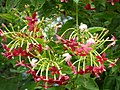 Starr-150811-0553-Quisqualis indica-flowers-Enchanting Floral Gardens of Kula-Maui (25202609211).jpg