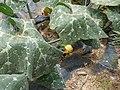 Starr-170614-0954-Cucurbita maxima-flowers leaves-Community Garden Sand Island-Midway Atoll (36311291576).jpg