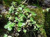 Starr-180806-0912-Pilea peploides-flowering habit-Kipahulu Forest Reserve-Maui (29768887337).jpg