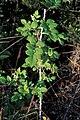 Starr-990119-3223-Rubus niveus-form a habit-Kula-Maui (24157601779).jpg