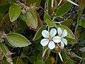 Starr 021003-0067 Geranium multiflorum.jpg