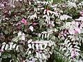 Starr 030612-0025 Breynia disticha.jpg