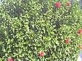 Starr 031108-0221 Hibiscus rosa-sinensis.jpg