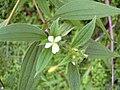 Starr 031118-0088 Tibouchina longifolia.jpg