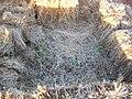 Starr 050208-3866 Heteropogon contortus.jpg