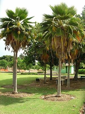 Pritchardia - Pritchardia palms