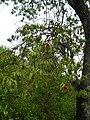 Starr 051105-8436 Santalum freycinetianum var. lanaiense.jpg