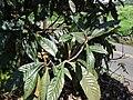 Starr 061201-1792 Eriobotrya japonica.jpg
