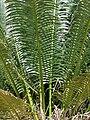 Starr 070306-5229 Cycas circinalis.jpg