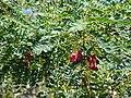 Starr 070403-6458 Sesbania grandiflora.jpg