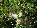 Starr 070525-7182 Myrtus communis.jpg