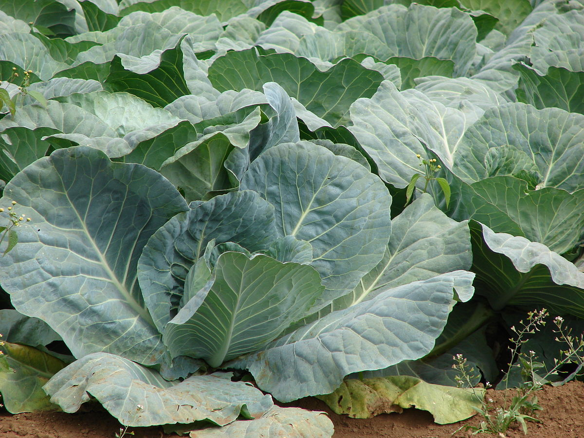 Cabbage Genus  Letters