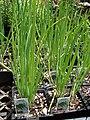 Starr 070906-8927 Allium fistulosum.jpg