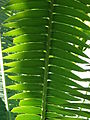 Starr 071024-9733 Dioon spinulosum.jpg