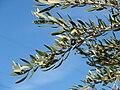 Starr 071224-0446 Olea europaea subsp. europaea.jpg