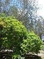 Starr 080609-7917 Thevetia peruviana.jpg
