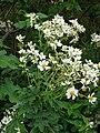 Starr 081230-0644 Montanoa hibiscifolia.jpg