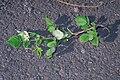 Starr 990119-3227 Rubus niveus f. a.jpg