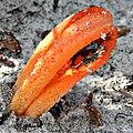 Stinkhorn Fungus (Clathrus columnatus) (6386125953).jpg
