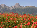 Stockhorn, Red Poppies.jpg