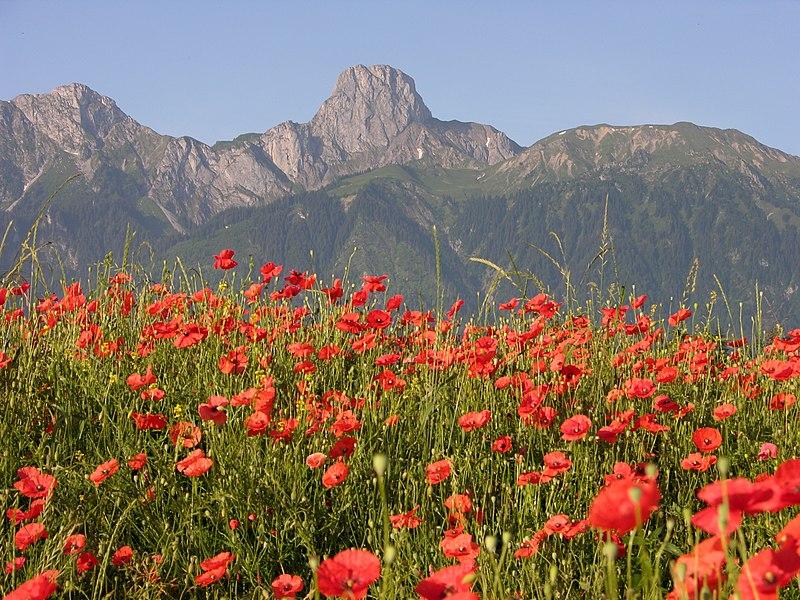 File:Stockhorn, Red Poppies.jpg