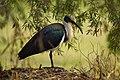 Straw-necked Ibis - AndrewMercer IMG09947.jpg