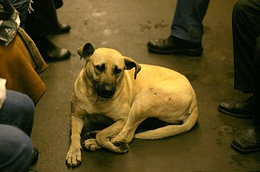 Street Dog Riding the Subway