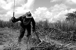 Motril - Sugar Cane Harvest