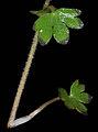 Suksdorfia violacea 14.jpg