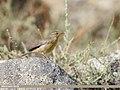 Sulphur-bellied Warbler (Phylloscopus griseolus) (48051145331).jpg