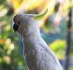 Sulphur-crested Cockatoo 2 (30940928216).jpg