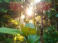 Sun behind the Mango tree 09.jpg