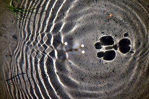 English: Moving of mating Water Striders (Gerr...