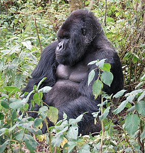 Susa group, mountain gorilla.jpg
