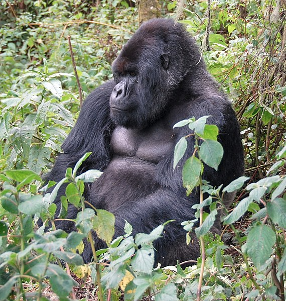 see: gorillas in the wild