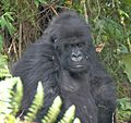 Susa group, mountain gorillas - Flickr - Dave Proffer (28).jpg