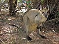 Swamp Wallaby - Flickr - GregTheBusker (1).jpg
