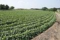 Sweet potato field in Namegata, Ibaraki 08.jpg