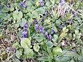 Sweet violets - geograph.org.uk - 371846.jpg
