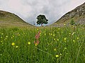 Sycamore Gap in summer.jpg