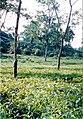 Sylhet Tea Garden 01.jpg