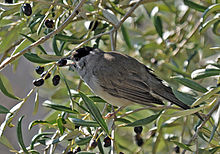 A male blackcap eating a berry from a tree