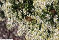 Symphyotrichum ericoides var. ericoides Schneegitter 4zz.jpg