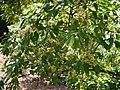 Syzygium ¿ cumini ? (16668805823).jpg
