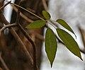 Tabebuia heterophylla is it- in Hyderabad W IMG 7042.jpg