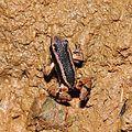 Talamanca Rocket frog (Allobates talamancae)? (9423928802).jpg