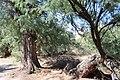 Tamarix canariensis-Daimiel.jpg